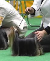 """2012本部展ヨーキー単独""""Ryujin"""" :ヨーキー:ヨークシャーテリア"""