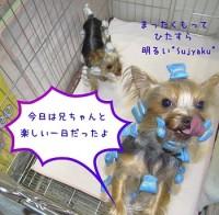 Ryujin&Sujyaku:ヨーキー:ヨークシャーテリア