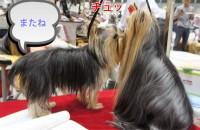 RinnosukeとSujyaku:ヨーキー