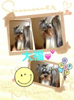 極小犬。大福:ヨーキー